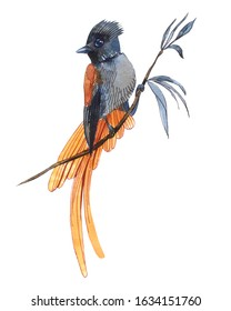 Tropical bird on a branch. Watercolor illustration of a beautiful bird.