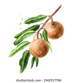 Tropical Fruit Hydnocarpus anthelminthicus or Chaulmoogra on the branch with leaves, Watercolor hand drawn illustration, isolated on white background