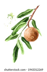 Tropical Fruit Hydnocarpus anthelminthicus or Chaulmoogra on the branch with leaves. Watercolor hand drawn illustration isolated on white background