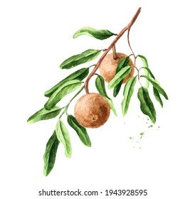 Tropical Fruit Hydnocarpus anthelminthicus or Chaulmoogra on the branch with leaves. Watercolor hand drawn illustration, isolated on white background