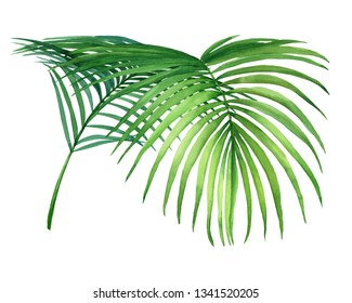Tropical green coconut palm leaf. Watercolor hand drawn painting illustration isolated on a white background.
