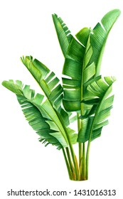 Tropical green leaves. Banana palm on an isolated white background, watercolor drawing