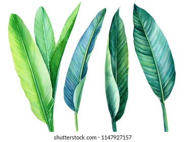 tropical green leaves strelitzia on white background, watercolor illustration, botanical painting, jungle design