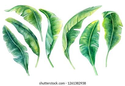 Tropical leaves. Jungle botanical watercolor illustrations, floral elements, a set of banana palms, green leaves. Watercolor. Illustration. Template. Clip art.