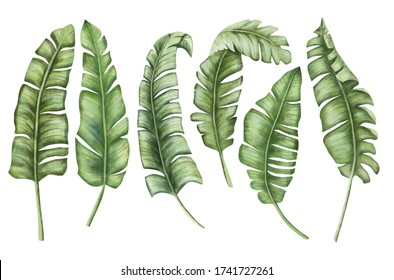 Tropical leaves. Jungle botanical watercolor illustrations, floral elements, a set of banana palms, green leaves. Watercolor. Illustration. Template. Clip art. Greeting card design.