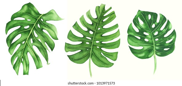 Tropical leaves of monstera, watercolor  painting. Hand painted illustration isolated on white background. Realistic botanical art.