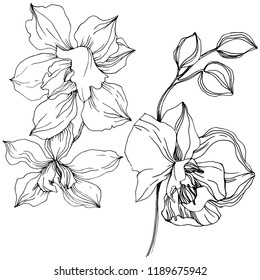 tropical orchid flower. Floral botanical flower. Isolated illustration element. wildflower for background, texture, wrapper pattern, frame or border.