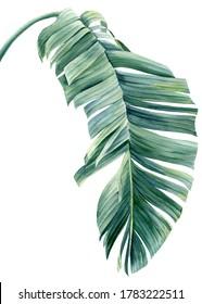 Tropical palm leaf on a white background. Watercolor botanical illustration, summer clipart. Strelitzia leaf