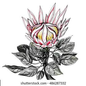 Tropical pink king protea flower blossom. Botanical retro vintage hand drawn watercolor black and white monochrome illustration for wedding invitation, prints, tattoo design, swimwear. Japanese style.