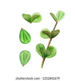 Tropical plant succulent peperomia leaves. Botanical watercolor illustration of succulent on white background.