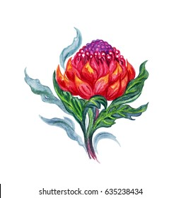 Tropical plant Waratah, the watercolor illustration on a white background.