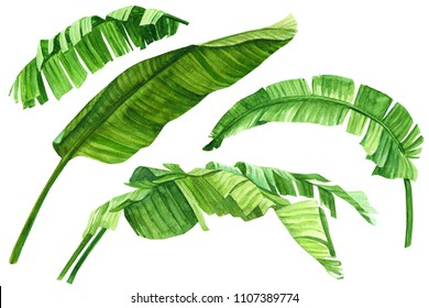 tropical plants, green leaves of banana palms, watercolor illustration, botanical painting, set of elements on white background