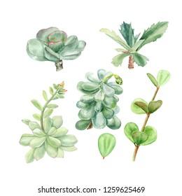 Tropical plants succulents Pachyphytum, echeveria, peperomia, kalanchoe, adromischus. Botanical watercolor illustration of succulent on white background.