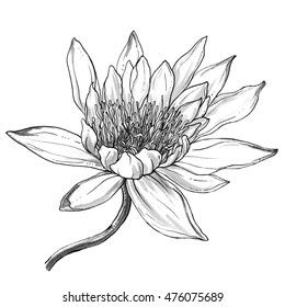 Tropical white waterlily exotic flower in blossom isolated white background. Hand drawn watercolor botanical black and white monochrome illustration for wedding prints card invitation Japanese style