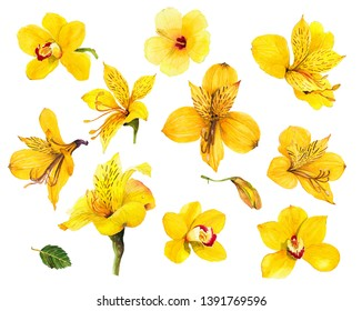 Tropical yellow flower Alstroemeria yellow orchid wattle magnolia hibiscus