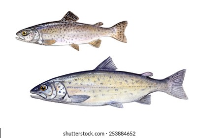 trout and salmon