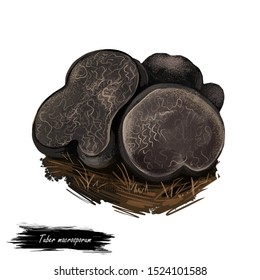 Tuber macrosporum, smooth black truffle, edible truffle in the family Tuberaceae. Black truffle Tuber mushroom closeup digital art illustration. Web print, clipart design. Hand drawn fungus