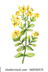 Tutsan watercolor drawing. St. John's wort branch. Hand drawn healing herb isolated. Colourful illustration of medical plants.