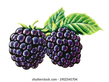 Two blackberries with leaves, isolated illustration