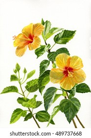 Two Bright Yellow Hibiscus Blossoms.  Watercolor hand painted, lllustration, painting of yellow hibiscus flowers on branches with a white background