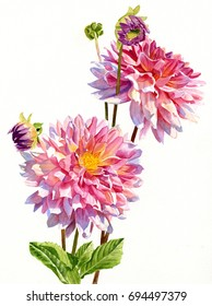 Two Colorful Dahlias on White.  Watercolor painting, illustration style, of two bright pink dahlia blossoms with shadows.
