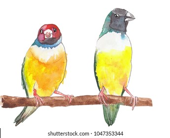 Two colourful Gouldian Finch tropical birds with different emotional expressions are sitting on a branch.