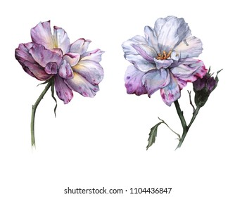 Two flowers of a tea rose. Isolated on white background. Watercolor illustration