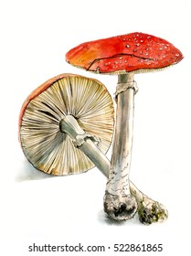 Two fly agaric, a poisonous mushroom, hand drawn watercolor sketch, isolated