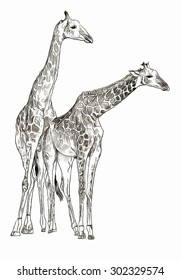 Two giraffes sketch