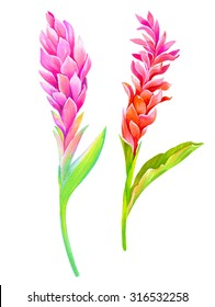 Two isolated red ginger flowers. Beautiful botanical illustrations, amazing details and colors. Artistic watercolor drawing, vintage style