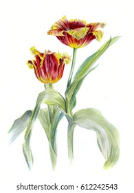 Two red Terry Tulip, watercolor sketch