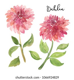 Two sketch style watercolor pink dahlia flowers isolated on white background. Beautiful stylized simplified sketch style dahlia flowers isolated on white background, greeting card decoration