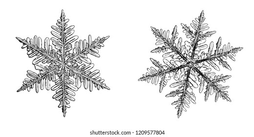 Two snowflakes isolated on white background. Illustration based on macro photo of real snow crystals: large, elegant stellar dendrites with hexagonal symmetry, complex shapes and thin, ornate arms.