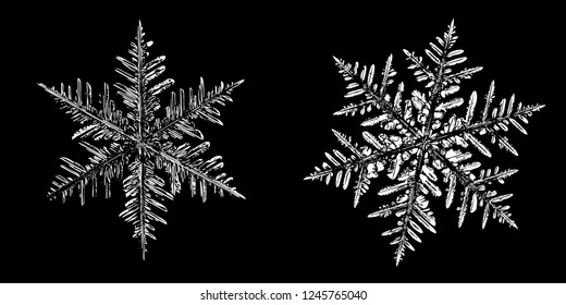 Two white snowflakes on black background. Illustration based on macro photograph of real snow crystals: elegant stellar dendrites with hexagonal symmetry, beautiful, complex shapes and ornate arms.