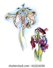 Two wilting tulips, watercolor sketch isolated