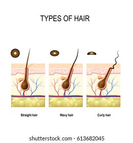 Types of hair: straight, wavy, and kinky. cross section of  Human skin layers with hair follicle. Cross section of different hair texture