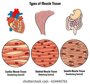 human tissue images stock photos vectors shutterstock rh shutterstock com Connective Tissue Diagram Human Anatomy Atlas Visible Body