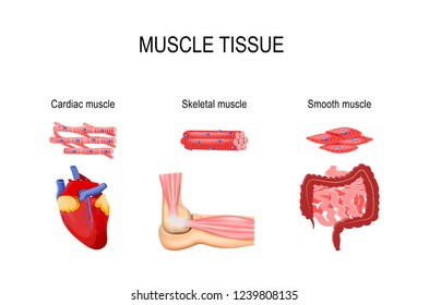 Types of muscle tissue. Skeletal muscle (elbow joint), smooth (gastrointestinal tract) and cardiac muscle (heart). Human internal organs and Muscle cells. for medical, educational and science use
