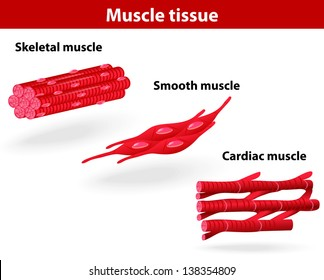 Types of muscle tissue. Skeletal muscle, smooth muscle, cardiac muscle. scheme
