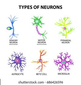 Types of neurons. Structure sensory, motor neuron, astrocyte, pyromidal, Betz cell, microglia. Set. Infographics illustration on isolated background