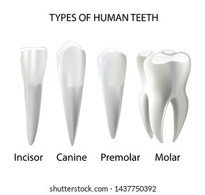 Types of Teeth Realistic Vector Concept Various Human Teeth with Roots, Molars, Premolars, Canines, Incisors Anatomical 3d Illustration for Medical Infographic, Oral Health Chart
