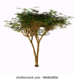 Umbrella Acacia Tree 3D Illustration - The Umbrella Acacia Tree is found in the Sahel of Africa, the Sudan and the Middle East.