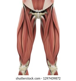 Upper Legs Muscles Anatomy. 3D rendering