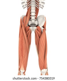 Upper Legs and Psoas Muscles Anatomy. 3D rendering