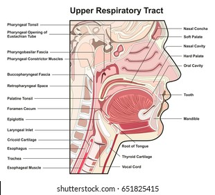 Upper Respiratory Tract Cross Section infographic diagram with all parts helpful for medical science education anatomy physiology and health care