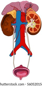 Urinary Renal System of Human Body Anatomy with all parts including adrenal gland artery and vein supply and cross section of kidney bladder at anatomical abdomen area diagram