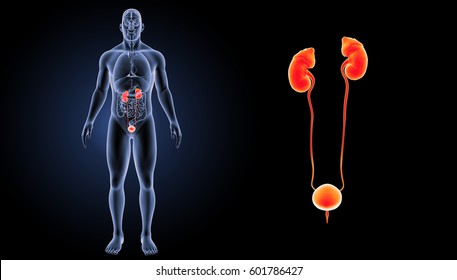 Urinary System Images, Stock Photos & Vectors | Shutterstock