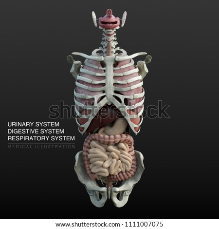 respiratory system and digestive system