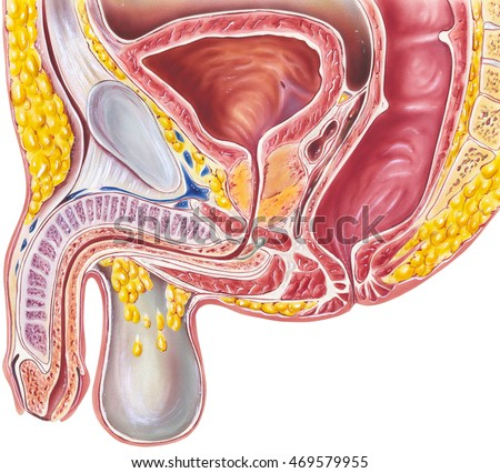 Urinary System Male Cross Section Anatomy Stock Illustration ...