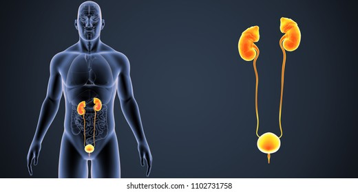 Urinary system with organs anterior view 3d illustration